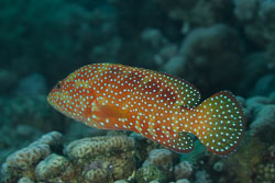BD-150224-Ras-Mohammed-6582-Cephalopholis-miniata-(Forsskål.-1775)-[Coral-hind.-Juvelabborre].jpg